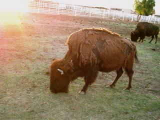 Buffalo use